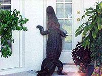 alligator at door