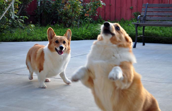 corgi-assemblog-header-graphic